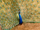 Indian Peafowl (Pavo Cristatus) Displaying its Feathers Photographic Print by Beverly Joubert