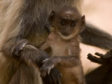 Common Langur Monkey(Presbytis Entellus)Baby with Mother Photographic Print by Beverly Joubert