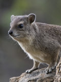 Alert Rock Hyrax in Samburu National Reserve Photographic Print by Michael Nichols