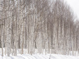 Glade of White Birch Trees in Daisetsuzan National Park Photographic Print by Michael S. Yamashita
