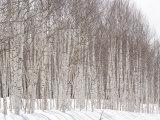 Glade of White Birch Trees in Daisetsuzan National Park Photographic Print by Michael S. Yamashita