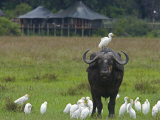 African Buffalo with Oxpeckers and Egrets Photographic Print by Beverly Joubert