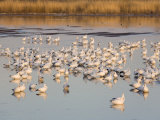 Snow Geese at the Bosque Del Apache National Wildlife Refuge Photographic Print by Scott Warren