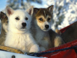 Close Up of Siberian Husky Puppies Photographic Print by Nick Norman