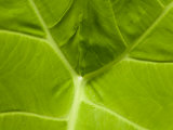Close Up of a Green Leaf at Longwood Gardens Photographic Print by Scott Warren