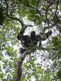 Silverback Western Lowland Gorilla Resting in a Tree Photographic Print by Ian Nichols