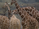 Giraffes in Samburu National Park Photographic Print by Michael Nichols