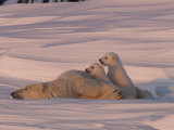 Polar Bear Sleeping with Her Cubs in a Snowy Landscape Photographie par Norbert Rosing