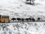 American Bison in the Road Halt Traffic in a Snowy Landscape Photographic Print by William Allen