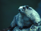 Hoary Marmot on Rocks Photographic Print by Nick Norman