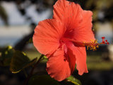 Close Up of a Red Hibiscus Flower Photographic Print by Scott Warren