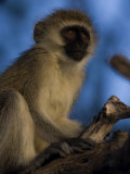 Vervet Monkey Photographic Print by Michael Nichols
