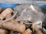 Pale Gray Shrew (Crocidura Pergrisea) in Tool Box Photographic Print by Beverly Joubert