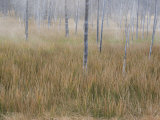 Steam and Fog Among Tree Trunks and Grasses at Midway Geyser Basin Photographic Print by William Allen