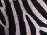 Detail of a Plains Zebra Photographic Print by Nick Norman