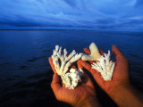Hard Coral Samples in Hands Photographic Print by Nick Norman