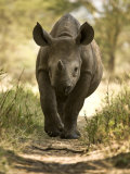 Elvis, a Black Rhino Calf Photographic Print by Michael Polzia