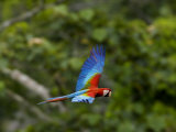 Scarlet Macaw in Flight Photographic Print by Mattias Klum