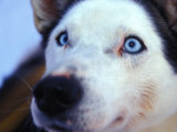 Close Up of a Sled Dog's Face Photographic Print by Nick Norman