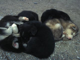 Husky Puppies Curled Up Sleeping Photographic Print by Nick Norman
