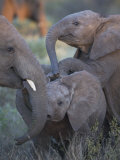 Baby Elephants at Play in Samburu National Reserve Photographic Print by Michael Nichols