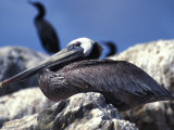 Brown Pelican (Pelecanus Occidentalis) Photographic Print by Nick Norman