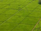 Aerial of Lush Green Tea Fields in Kenya Photographic Print by Beverly Joubert