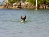 Rat Terrier Dog Swimming in the Water Photographic Print by Karine Aigner