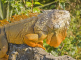 Male Green Iguana in Orange Breeding Season Colors Climbing a Rock Photographic Print by Mike Theiss