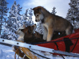 Siberian Husky Puppies Play on a Snow Sled Photographic Print by Nick Norman