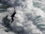Solitary Gull in Flight over Water Photographic Print by Mattias Klum