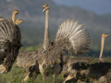 Group of Female Ostriches in Samburu National Reserve Photographic Print by Michael Nichols