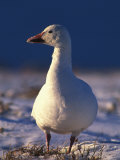 Close View of a Snow Goose Photographic Print by Nick Norman