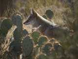 Coyote in an Enclosure at the Arizona-Sonora Desert Museum Photographic Print by Scott Warren