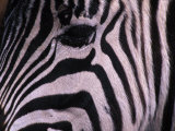 Detail of a Plains Zebra's Face Photographic Print by Nick Norman