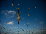 Flock of Sooty Terns in Flight over their Rookery Photographic Print by Beverly Joubert