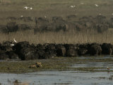 Herd of African Buffalo, Egrets, and African Lion in Water Photographic Print by Beverly Joubert