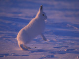 Arctic Hare Jumps in the Snow Photographic Print by Nick Norman