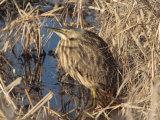 American Bittern, Botaurus Lentiginosus, Hiding in Marsh Vegetation Photographic Print by George Grall