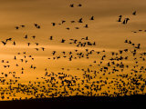 Flock of Snow Geese (Chen Caerulescens) Fly Along the Rio Grande Photographic Print by Ralph Lee Hopkins