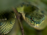 Mangrove Pit Viper in Bako National Park Photographic Print by Mattias Klum