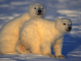 Young Polar Bear Cubs on Ice Photographic Print by Nick Norman