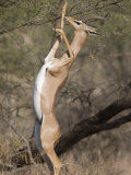 Gerenuk Feeding Standing on Hind Legs Photographic Print by Michael Nichols