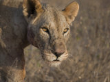 Alert Lioness in Samburu National Park Photographic Print by Michael Nichols