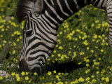 Common or Burchell's Zebra Grazing Among Wildflowers Photographic Print by Beverly Joubert