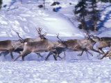 Barren-Ground Caribou Run across the Snow Photographic Print by Nick Norman