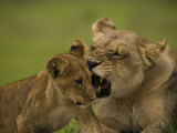 Lioness Nips at Her Cub Photographic Print by Beverly Joubert