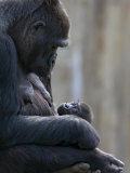 Portrait of Gorilla Mother Looking at Her New Born Baby Photographic Print by Karine Aigner