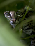 Ocelot Peering Through Leaves Photographic Print by Roy Toft