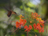 Little Hermit Hummingbird Drinking from a Flower Photographic Print by Roy Toft